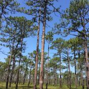 Longleaf pine in the Croatan National Forest