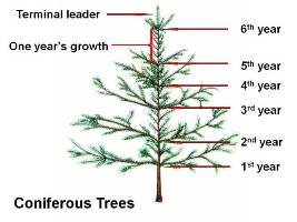 Annual growth on conifers can be measured by counting each set of branches that originate from the main stem.