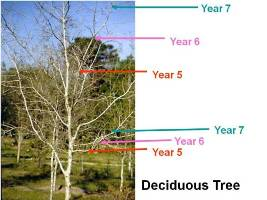 In deciduous trees, new branches are formed off of older ones each year.
