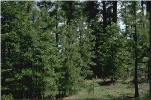 This is a dense stand of pine trees in the California Black Mountains Experimental Forests.  Source: John Ahnstead, U.S. Forest Service