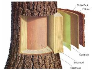 Illustration of the internal layers of a tree.
