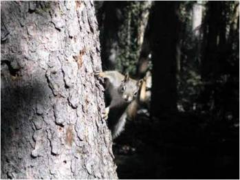 (a) A Mount Graham red squirrel stops halfway up a tree to look around.  Source: Red Squirrel Monitoring Program.