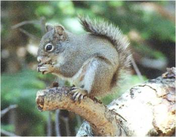 (b)  A Mount Graham red squirrel pauses on a branch to eat.  Source: Red Squirrel Monitoring Program.