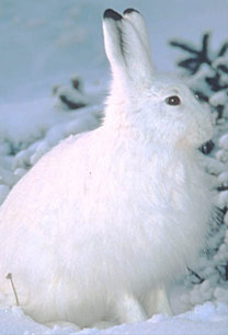 (a) The snowshoe hare during the winter months.  Courtesy of the U.S. Forest Service.