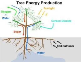 Diagram of how trees produce energy through photosynthesis.