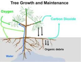 Diagram of how a tree uses energy for growth and maintenance.